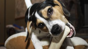 Dog chews bone